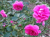 澄清湖的浪漫玫瑰花(蘭花):20200202_173236.jpg
