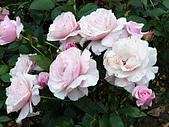澄清湖的浪漫玫瑰花(蘭花):20200202_173819.jpg