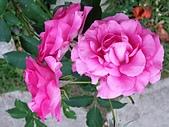 澄清湖的浪漫玫瑰花(蘭花):20200202_174002.jpg