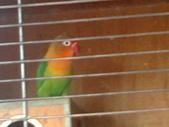 偶的毛孩們:琉璃牡丹鳥