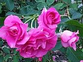 澄清湖的浪漫玫瑰花(蘭花):20200202_173740.jpg