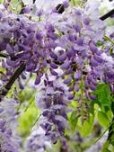 紫藤咖啡園:1010409 (91).JPG