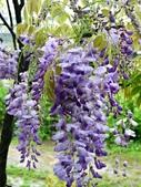 紫藤咖啡園:1010409 (93).JPG