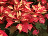 認識植物2.0 (24) 冰列印合吉:冰火聖誕紅bj2580.JPG