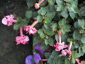 認識植物2.0 (59) 長:長筒花cs4848.JPG