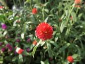 植物隨手拍 D:千日红 d1907.JPG
