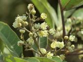 植物隨手拍 J:巴西胡椒木 j5223.JPG