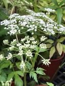 認識植物(69) 當痲矮碎碗稗稜節粳群義聖:當歸xx01.jpg