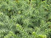 植物隨手拍CW:不老松cw5106.JPG