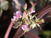 植物隨手拍CW:紅紫蘇cw8269.JPG