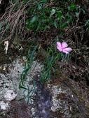 認識植物2.0 (59) 長:長萼瞿麥xx01.jpg