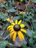 認識植物(66) 黑:黑心金光菊xx01.jpg