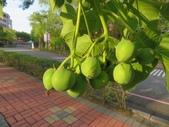 認識植物(69) 當痲矮碎碗稗稜節粳群義聖:痲瘋樹xx02.jpg