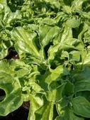 認識植物2.0 (24) 冰列印合吉:冰菜xx02.jpg