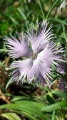 認識植物2.0 (59) 長:長萼瞿麥xx03.jpg
