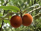 植物隨手拍 H:毛柿 h6542.JPG