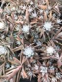認識植物(66) 黑:黑瓦松xx02.jpg
