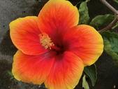 認識植物2.0 (28) 朱朴江池灰:朱槿 d9313.JPG