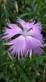 認識植物2.0 (59) 長:長萼瞿麥xx04.jpg