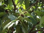 植物隨手拍 H:白仙丹花 h1146.JPG