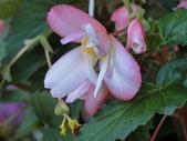植物隨手拍 AD:垂絲海棠ad0592.JPG