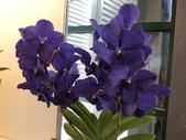 認識植物(70) 腰萬萱萼落葉葎葛葡葫葶蒂:萬代蘭dg0621.JPG