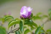 認識植物2.0 (70) 柊柏柚柳:柏萊花xx01.jpg