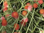 植物隨手拍 D:千日红 d2145.JPG