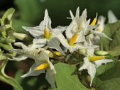認識植物(70) 腰萬萱萼落葉葎葛葡葫葶蒂:萬桃花bw6821.JPG