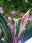 認識植物2.0 (28) 朱朴江池灰:朱蕉xx01.jpg