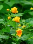 認識植物2.0 (61) 雨青:青牛膽xx03.jpg