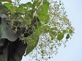 認識植物2.0 (70) 柊柏柚柳:柚木xx02.jpg