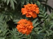 認識植物(70) 腰萬萱萼落葉葎葛葡葫葶蒂:萬壽菊 x9080.JPG