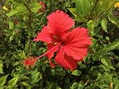 植物隨手拍 X:木槿 x0700.JPG