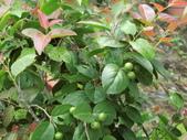植物隨手拍 CJ:羅比梅cj4763.JPG