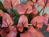 認識植物(61) 紫:紫火鶴dp0670.JPG