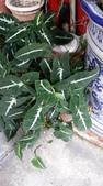 認識植物(62) 結絡絨絲腎荆菁菊:絨毛合果芋xx01.jpg