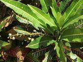 認識植物2.0 (59) 長:長葉變葉木ei0367.JPG