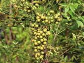 認識植物2.0 (63) 南:南天竹ab7320.JPG