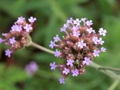 認識植物2.0 (70) 柊柏柚柳:柳葉馬鞭草cy8708.JPG