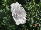 植物隨手拍 X:木槿 x7236.JPG