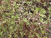 植物隨手拍 BP:樹馬齒莧bp6560.JPG