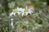 認識植物(62) 結絡絨絲腎荆菁菊:絨布花xx01.jpg