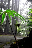 認識植物2.0 (59) 長:長行天南星xx05.jpg