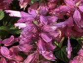 植物隨手拍 A:一串紅 a8314.JPG