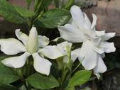 植物隨手拍 AM:玉堂春am9439.JPG