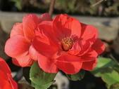 認識植物(58) 寒戟掌提散敦斐斑:寒梅bt1240.JPG
