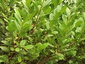 認識植物(64) 象費貼超酢量鈕開陽雁雲韌須:象牙木ay3234.JPG