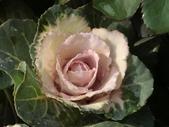 認識植物(70) 腰萬萱萼落葉葎葛葡葫葶蒂:葉牡丹bi1788.JPG
