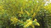 認識植物2.0 (27) 成扛早旭曲朵:扛香藤xx04.jpg